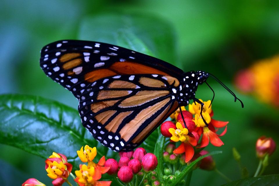 monarch-3237830_960_720